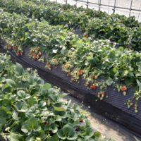 新京成で行くいちご狩りの6農園をご紹介!アクセス・いちごの種類・料金・高設栽培かどうかなど。あなたはどこに行きますか?